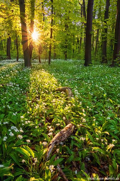 Bärlauch Frühling