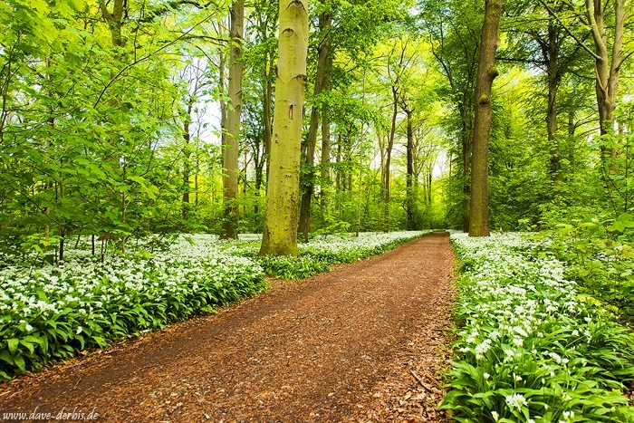 Bärlauch Wald