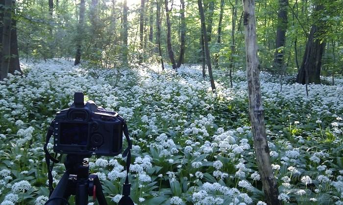 Bärlauch fotografieren im Wald