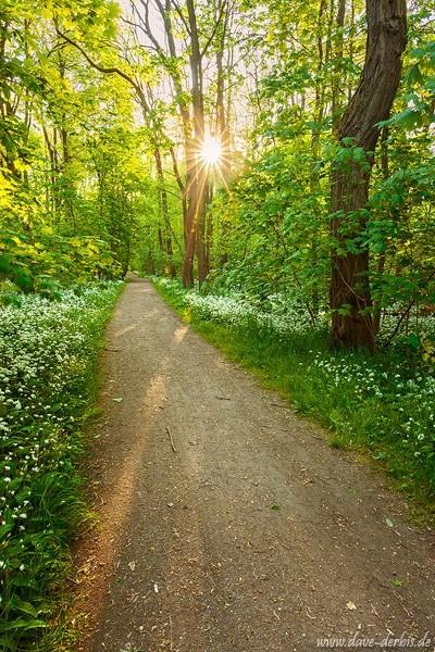 Waldweg Bärlauch
