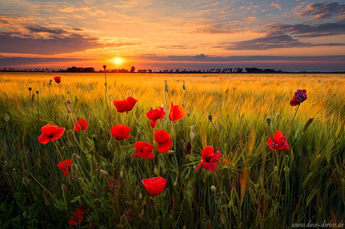Mohnblumen am Kornfeld zum Sonnenuntergang